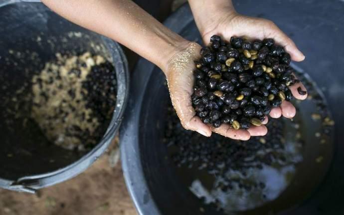 Кофейные зерна перед подачей слонам промывают