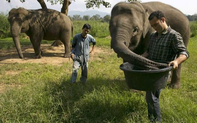 Слоны поедают кофейные зерна