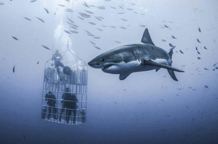 Невероятных размеров белая акула