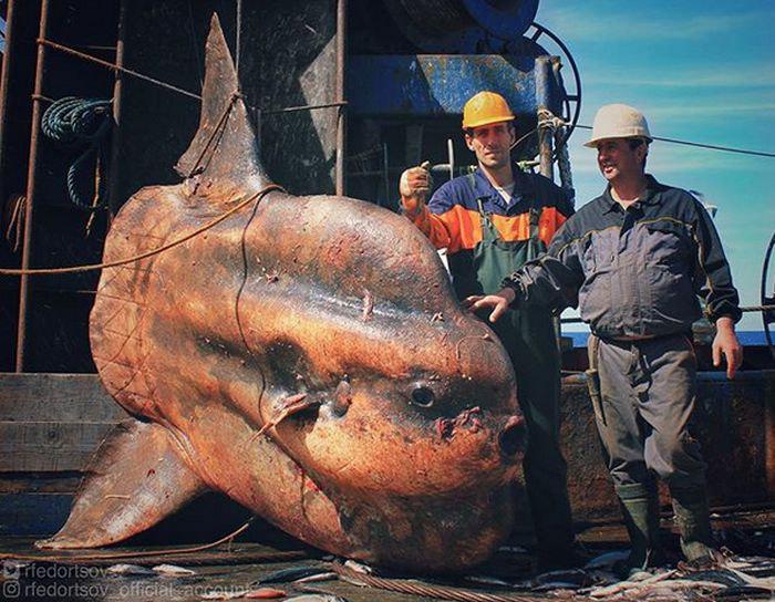 Фотография гигантской рыбы-луны