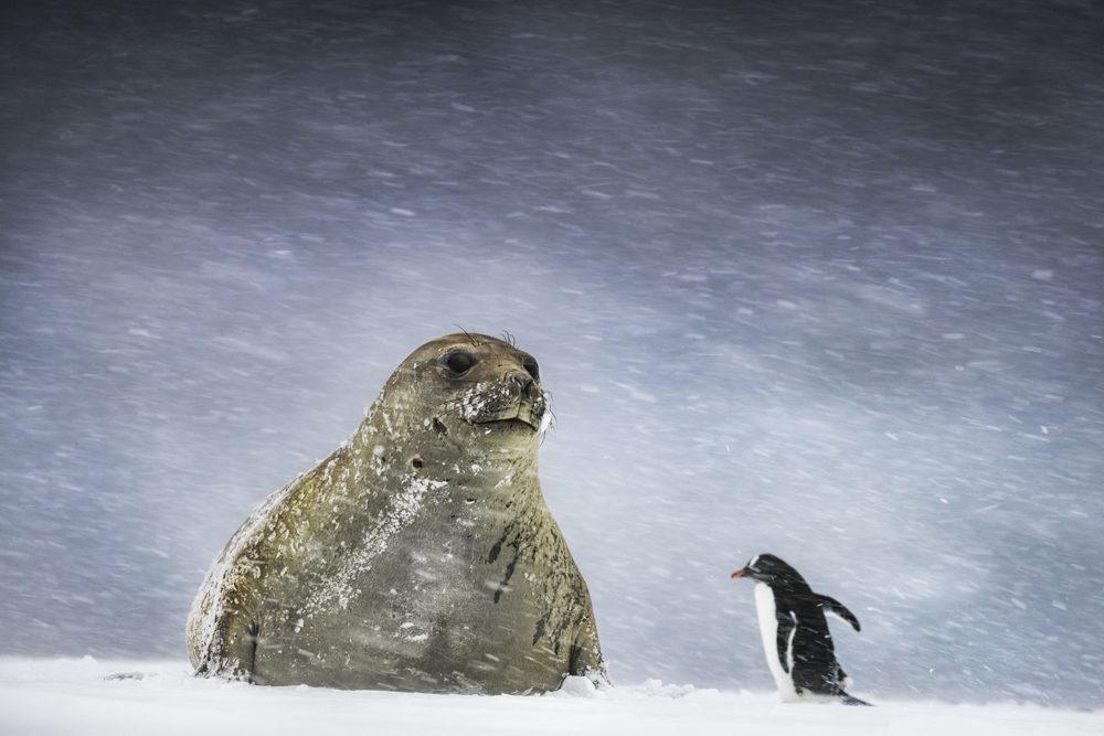 Второе место в номинации «Жарко/холодно», категория одиночных снимков. Автор фото: Эндрю Джеймс. Пингвин и тюлень в Антарктиде.