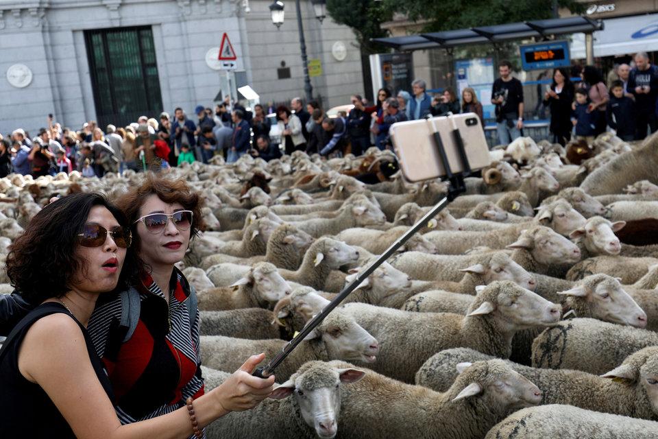 Ежегодный парад овец в Мадриде – прекрасная возможность сделать селфи.