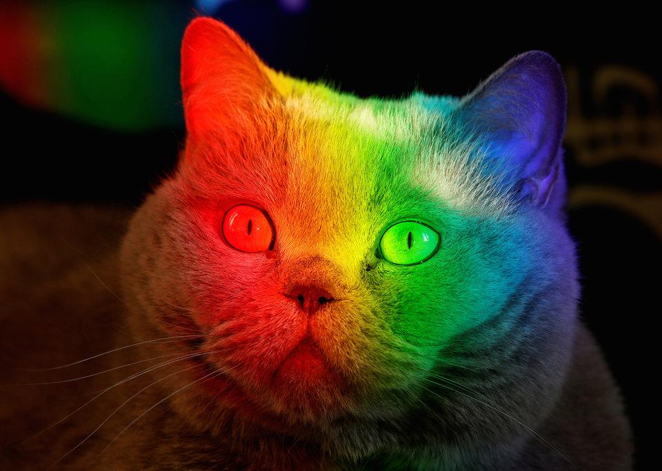 Британская короткошёрстная кошка в квартире в Красноярске