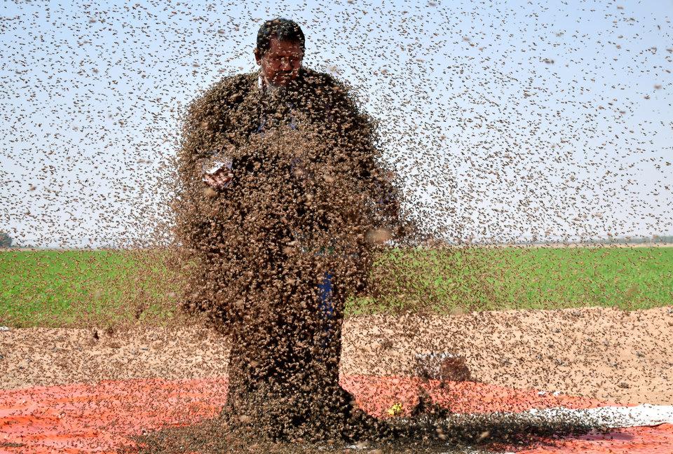 Мужчина из Саудовской Аравии, покрытый пчёлами, стоит на весах. Он пытается побить мировой рекорд, собрав на себе почти 64 килограмма пчёл.