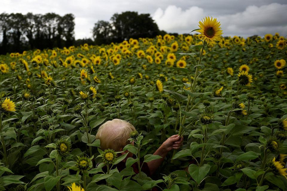 Женщина в поле среди высоких подсолнухов в Северной Ирландии