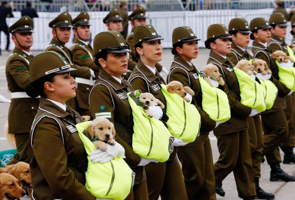 Чилийские полицейские маршируют с юными золотистыми ретриверами на ежегодном параде в парке Бернардо О'Хиггинса в Сантьяго, Чили.