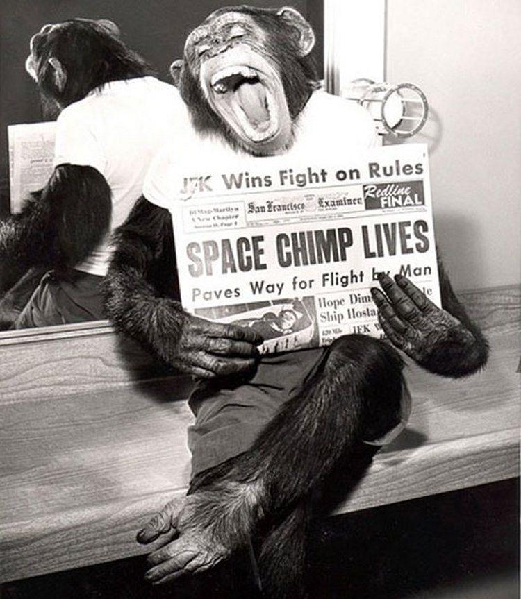 Шимпанзе после успешного полета в космос, 1961 год.
