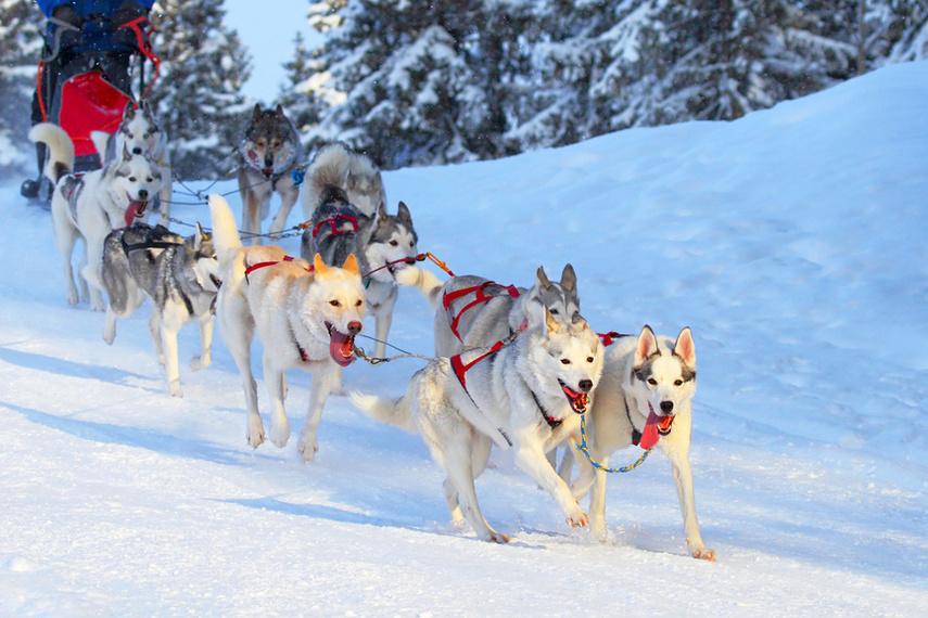 Отдых зимой с семьей, собачья упряжка