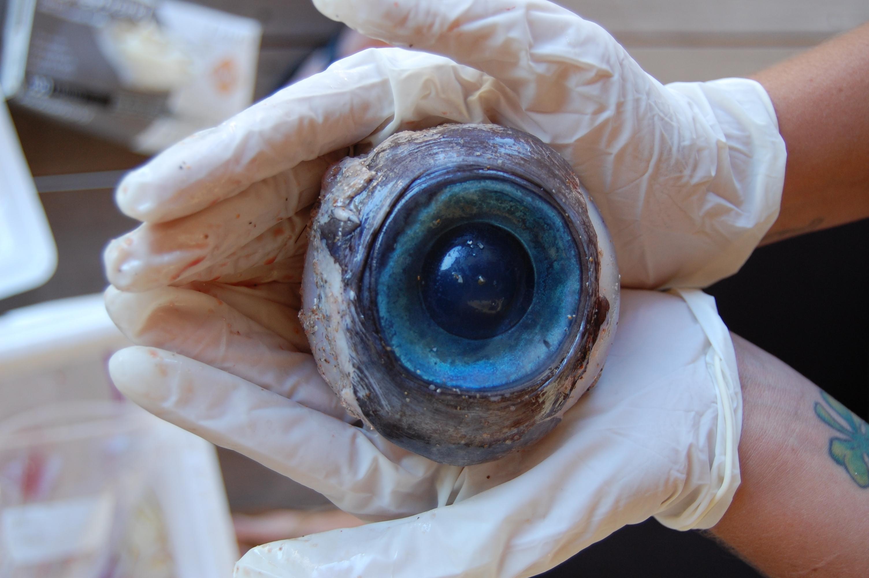 Глаза тунца (Япония)
