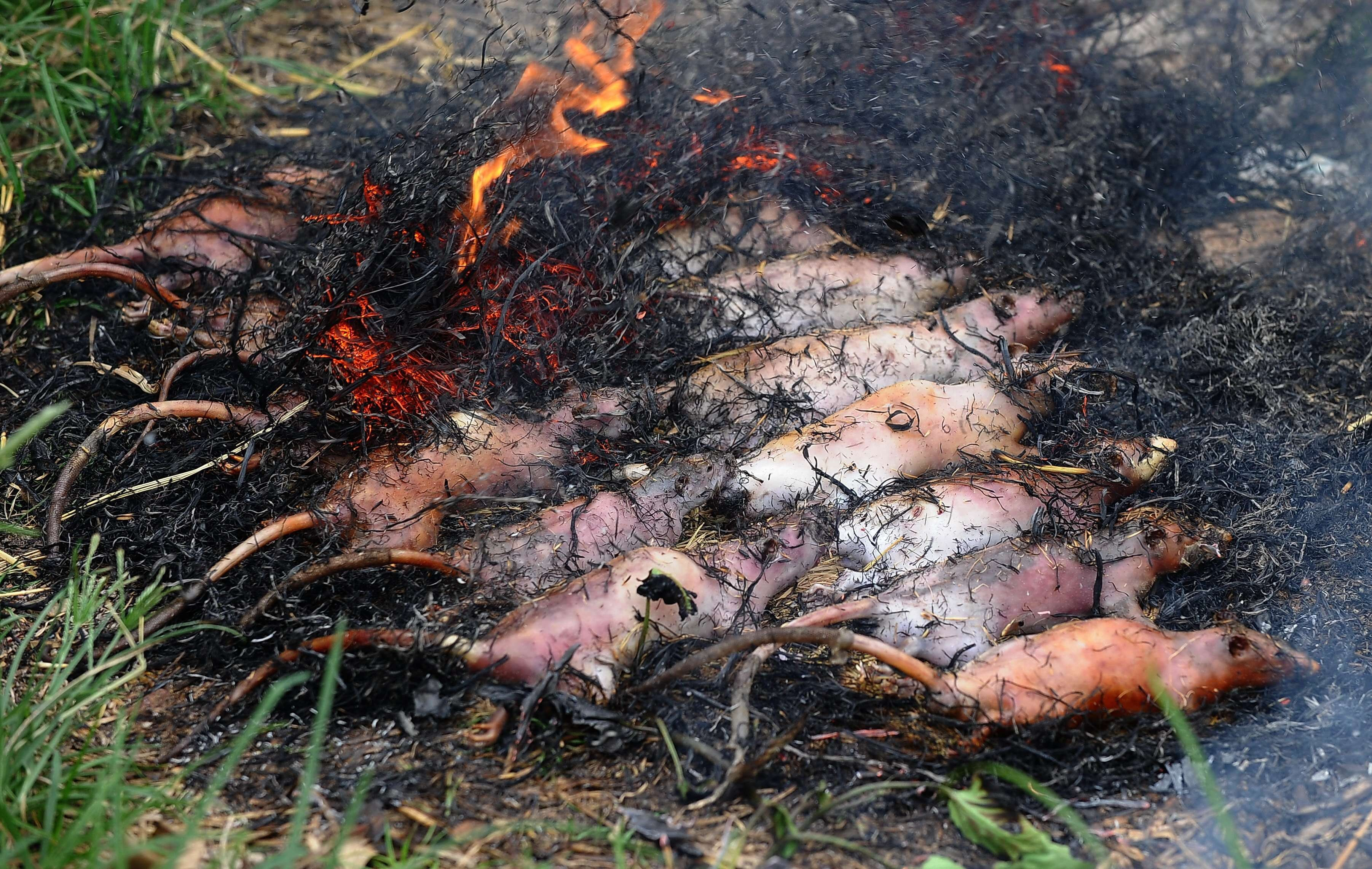 Крысы в собственном соку (Вьетнам)